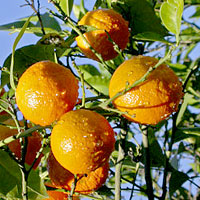 イメージ=アロマオイル辞典=オレンジスイート